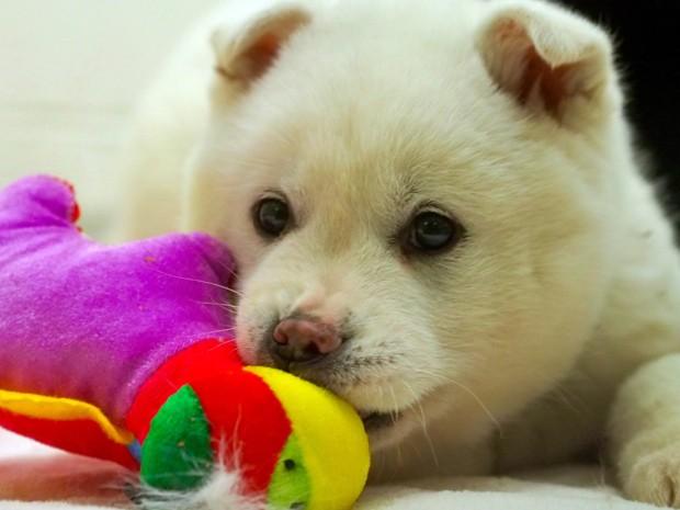 cachorros-que-seriam-consumidos-na-coreia-do-sul-sao-levados-para-os-eua
